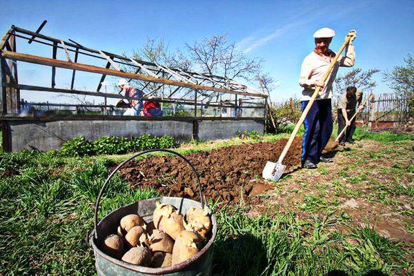 Как легко и быстро посадить картофель для хорошего урожая